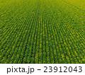 新緑のビート(甜菜)畑 23912043