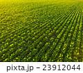 新緑のビート(甜菜)畑 23912044