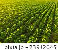 新緑のビート(甜菜)畑 23912045