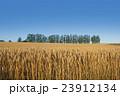 収穫間近!実りの小麦の丘 23912134