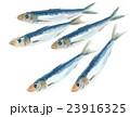 鰯 魚 海水魚のイラスト 23916325