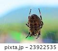 くも クモ スパイダーの写真 23922535