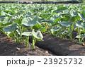 サトイモ畑 23925732