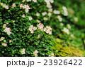 はがきサイズ・ハナネコノメ・ユキノシタ科100高尾山・日影沢 23926422