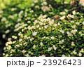 はがきサイズ・ハナネコノメ・ユキノシタ科73高尾山・日影沢 23926423