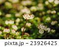 はがきサイズ・ハナネコノメ・ユキノシタ科91高尾山・日影沢 23926425