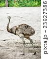 鳥 だちょう ダチョウの写真 23927386