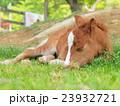 うたた寝する仔馬 23932721