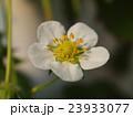 イチゴの花 23933077