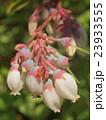 ブルーベリーの花 23933555
