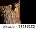[ セミの羽化 04-07 ]アブラゼミの羽化 インターバル撮影 固定撮影 セミ せみ セミ タイ 23936252