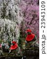 清雲寺のしだれ桜と地蔵 23943109