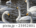 白鳥 23952801