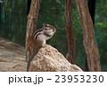 シマリス げっ歯類 ネズミ目の写真 23953230