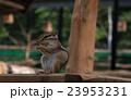 シマリス げっ歯類 ネズミ目の写真 23953231