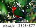 鳥・キンショウジョウインコ 23954577