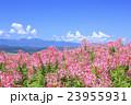 クレオメ 花畑 咲くの写真 23955931
