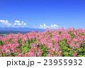 クレオメ 花畑 咲くの写真 23955932