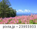 クレオメ 花畑 咲くの写真 23955933