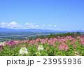 北海道 富良野市 クレオメの咲く丘 23955936