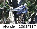 鳥・オカメインコ 23957337