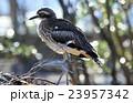 鳥 鳥類 オーストラリアイシチドリの写真 23957342