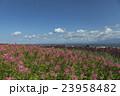 富良野 花畑 クレオメの写真 23958482