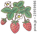 strawberry 23959986