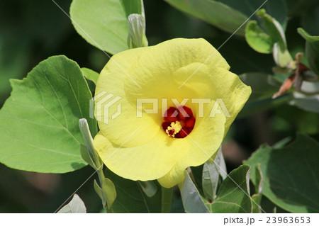 ハマボウの花と葉っぱ 23963653