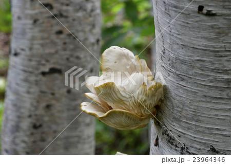 白樺生えるキノコ 23964346