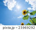 夏 ひまわり 青空の写真 23969292