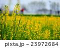幸手の菜の花 23972684