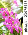 ピンクの蘭の花 23976558