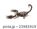 Emperor Scorpion ( Pandinus imperator)  23983919
