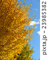 イチョウの木 23985382