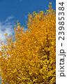 イチョウの木 23985384