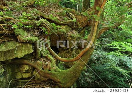 岩から生える力強い木 23989433