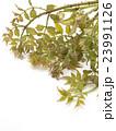 タラの芽 タラ 山菜の写真 23991126