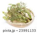 タラの芽 タラ 山菜の写真 23991133