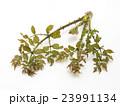 タラの芽 タラ 山菜の写真 23991134