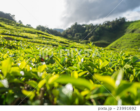 Tea plantation in the Cameron highlands 23991692