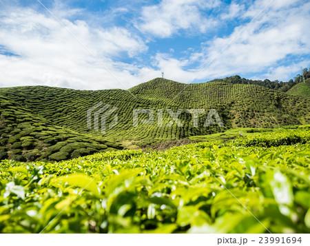 Tea plantation in the Cameron highlands 23991694