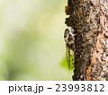 樹木に止まったセミ 23993812