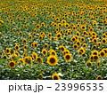 向日葵畑 23996535