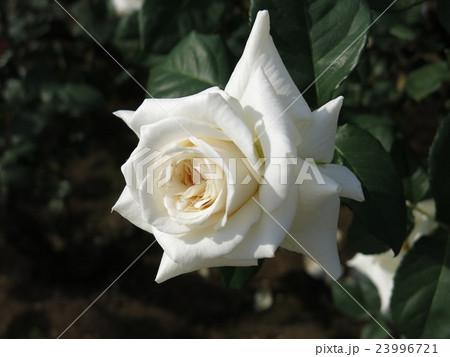 ホワイトクリスマス(バラ) 23996721