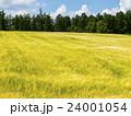 北海道 畑 大麦畑の写真 24001054