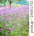 Verbena flowers in garden, flowering Verbena 24001732