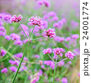 Verbena flowers in garden, flowering Verbena  24001774