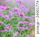 クローズアップ お花 フラワーの写真 24001774
