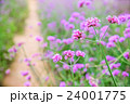Verbena flowers in garden, flowering Verbena  24001775